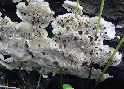 guttation pits on Inonotus glomeratus