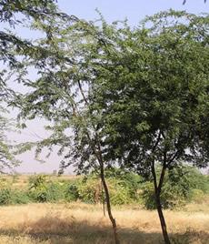 Acacias