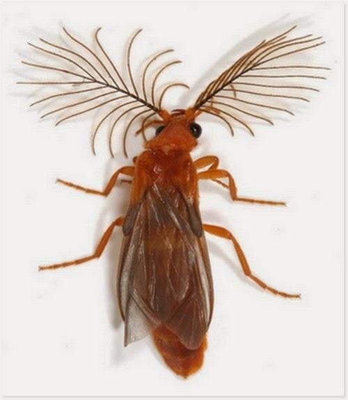 Glowworm, Kumbang Keren Yang Memiliki Tanduk Seperti Antena Tv | liataja.com