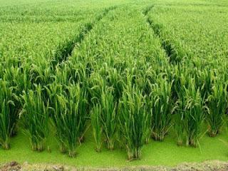 Bienvenidos al nuevo foro de apoyo a Noe #334 / 11.10.16 ~ 24.11.16 Albufera_arrozal-7102
