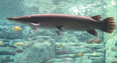 Kisaran Harga Ikan Aligator Gar Tahun 2016 -2017