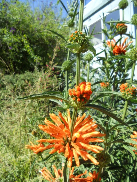Orange Flowers that look like firecrackers