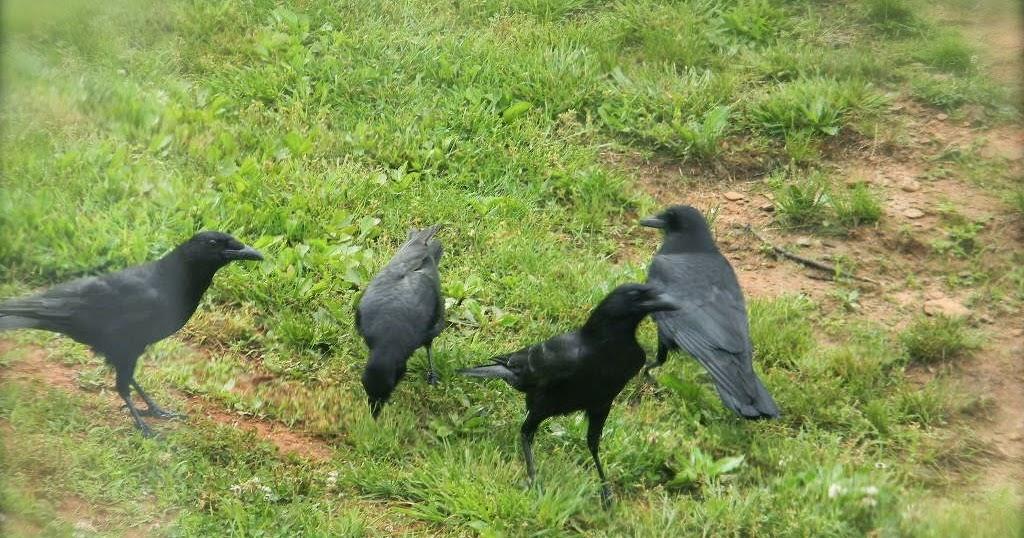 Notforgotten Farm Crows And 40 Ct Linen