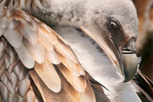 30 gambar hewan unik burung nasar pemakan bangkai amazing