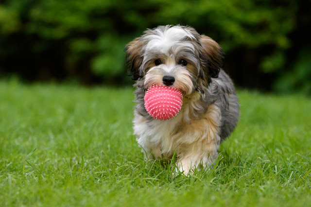 A Havanese dog fetches a ball. Science investigates whether visual or verbal cues work best