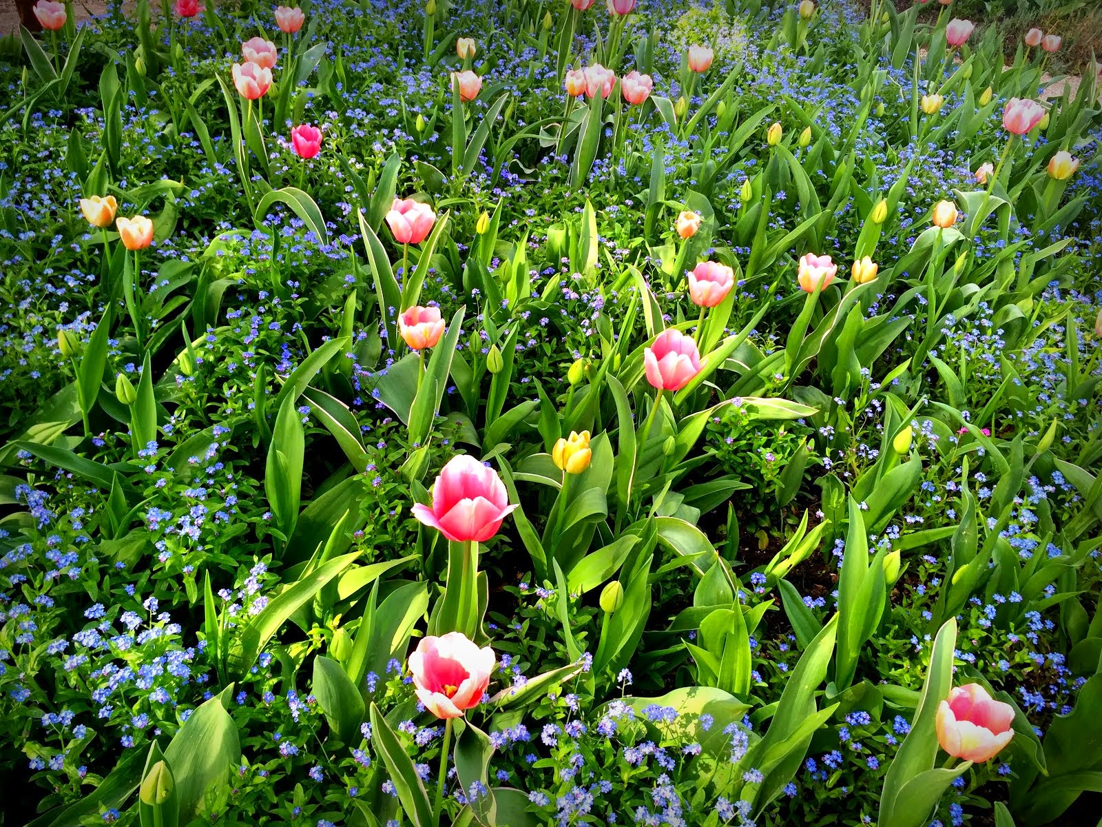 Tulips in Monet's gardens, Giverny, mid April