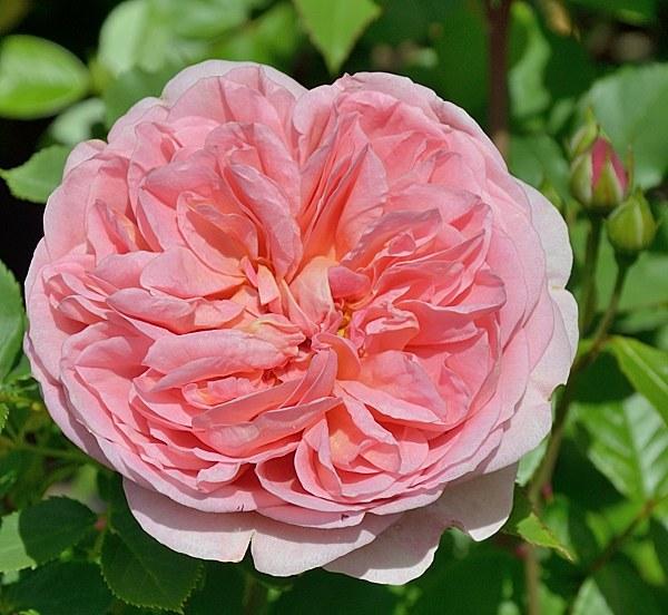 Boscobel сорт розы фото