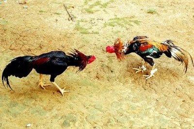 Sabung Ayam Online: Dari Budaya Daerah Hingga Dimainkan Live