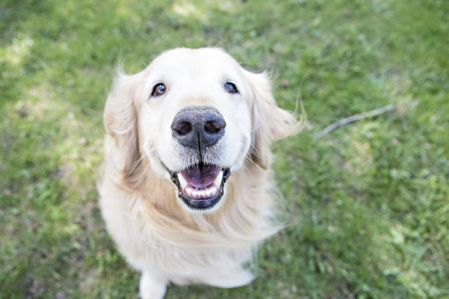 Happy Golden Retriever in a positive reinforcement training session