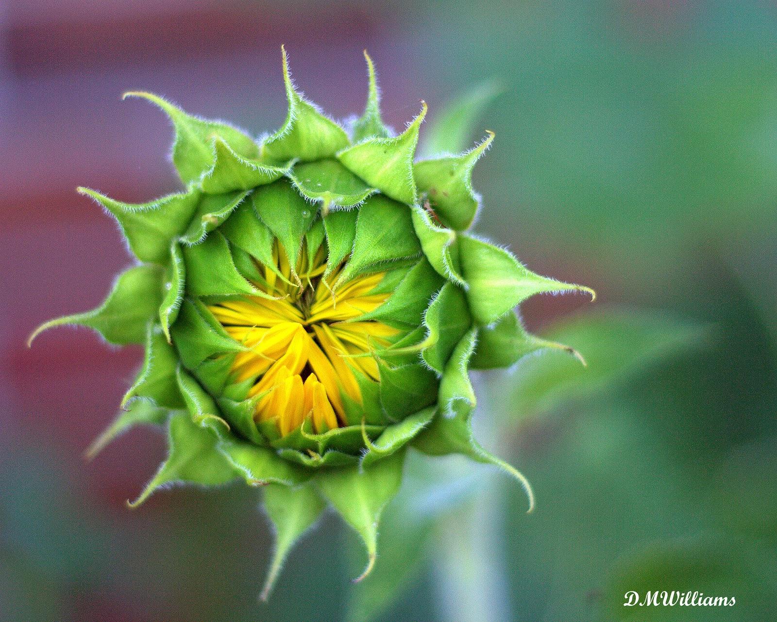 Sunflowers in Jarrettsville, Maryland | Stephen L Tabone ...  |Sunflower Bud