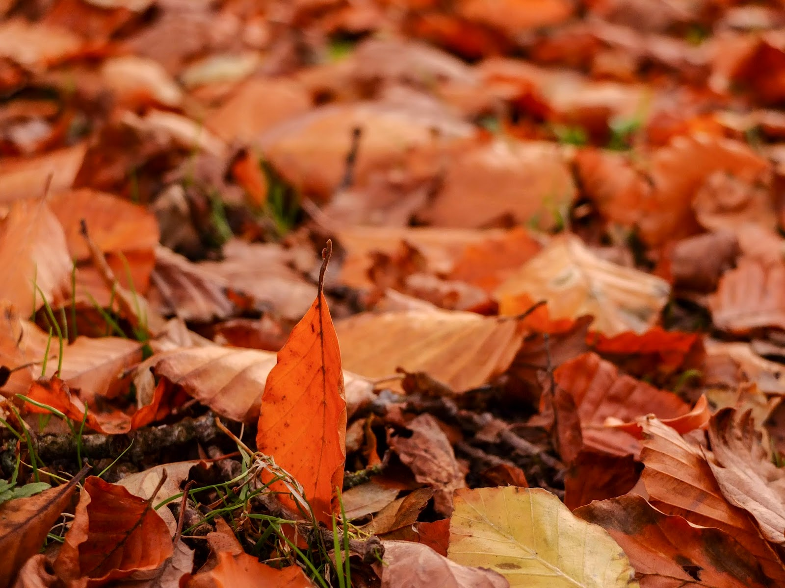A red leaf standing up in grass among other fallen autumn leaves in North Cork.