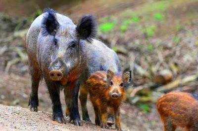 Wild Boar Of Assam