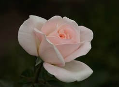 nuty perfum roza