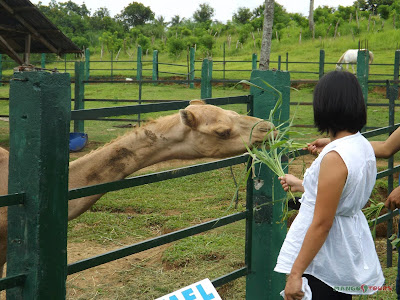 Mango Tours Tagaytay Paradizoo feeding camel and other animals