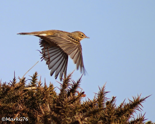Love of Pipits