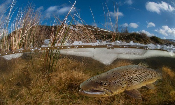 The Best Underwater Photos EVER Taken Show Life From A Different Angle. - 'Elan valley trout in winter' by Trevor Rees (UK)
