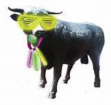Major the Bull