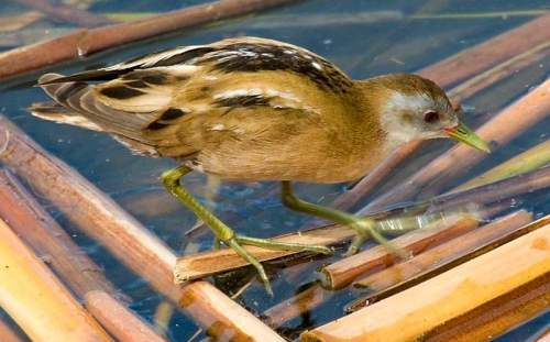 Indian birds -Little crake - Zapornia parva