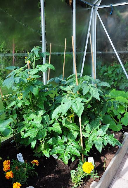 tomaatti kasvihuone