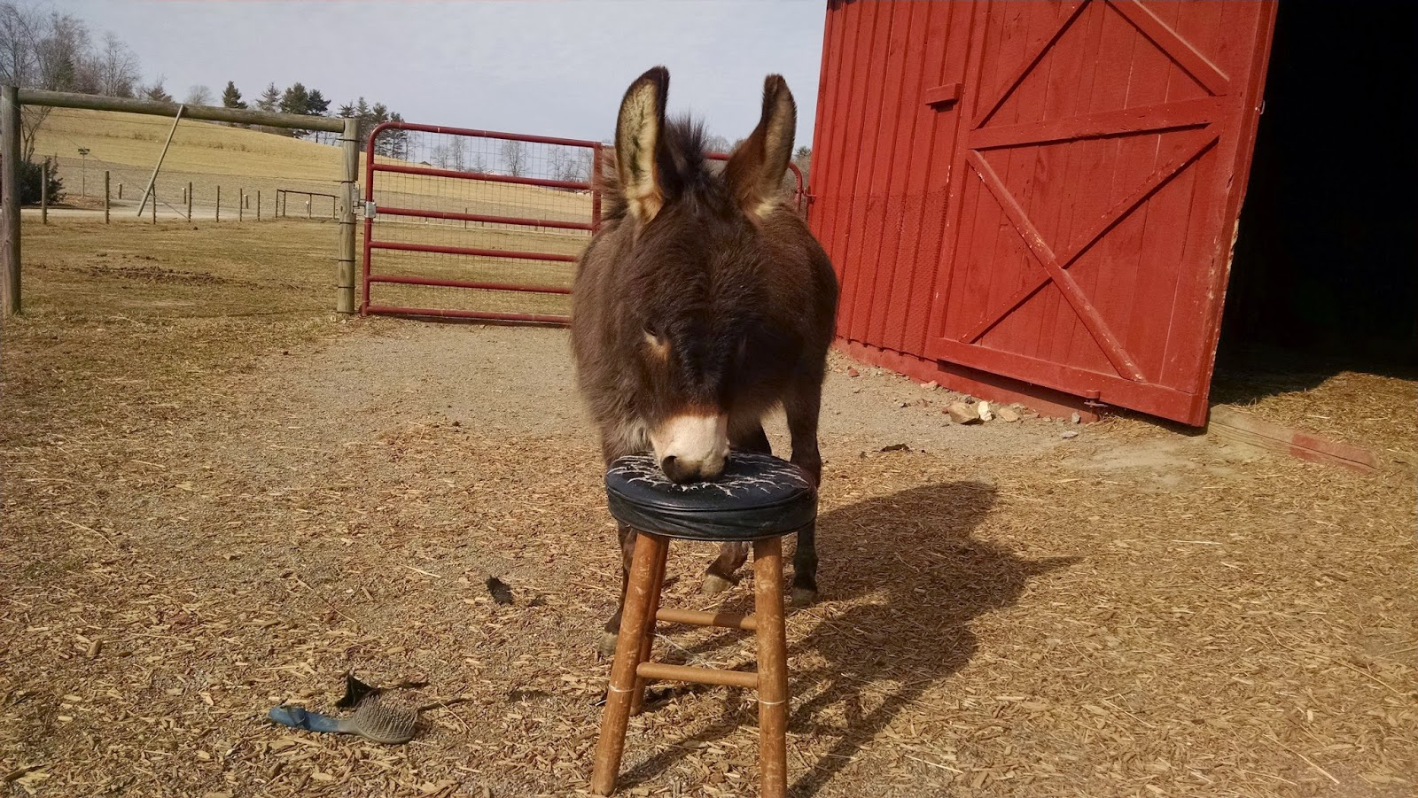 miniature donkey chewing on a sitting stool