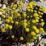 Planta Helichrysum italicum