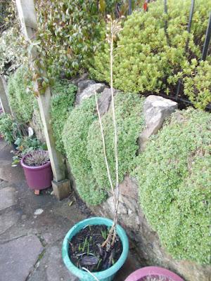 Nicotiana Winter interest Cutting back perennials Green Fingered Blog