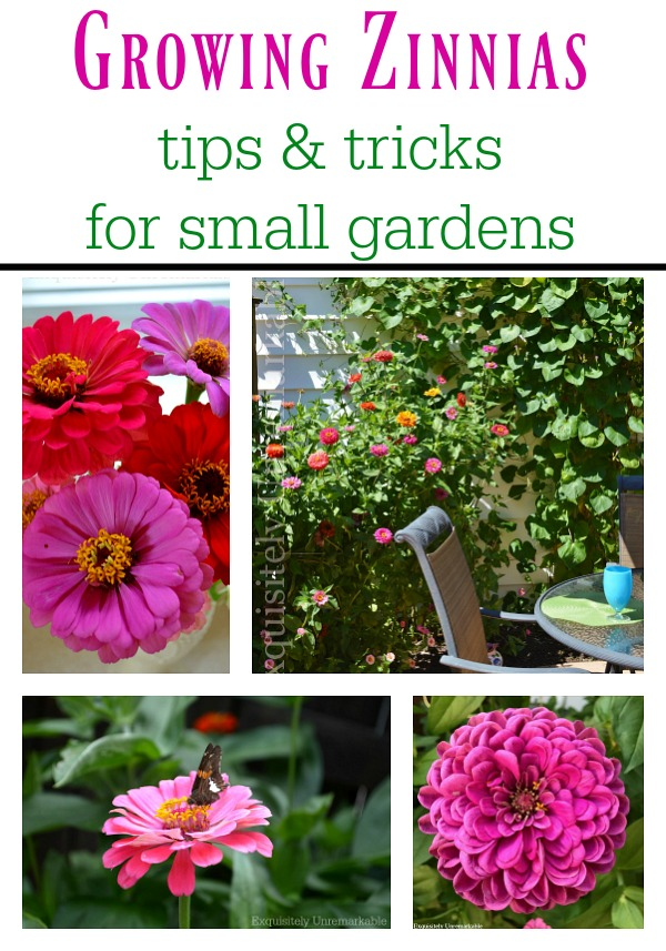 How To Grow Zinnias In Small Spaces