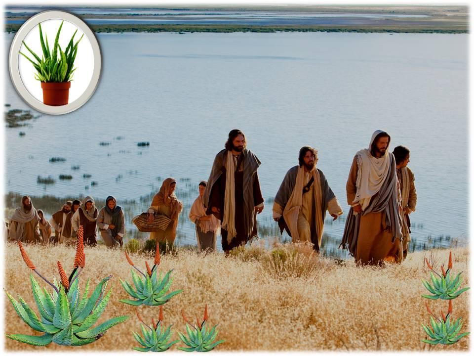 Virtuoso Aloe, Aloe Bendito, Santo Aloe, Aloe Sagrado,