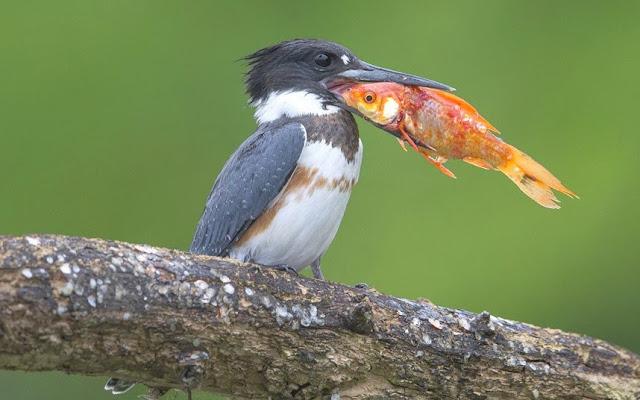 Resultado de imagem para martim-pescador
