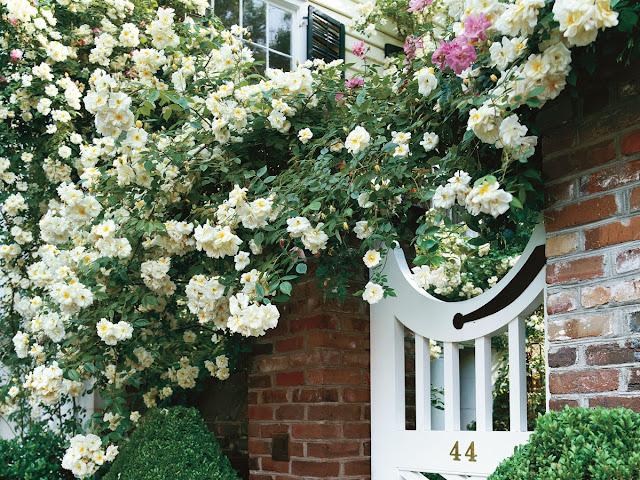 hoa hồng leo trắng trên tường gạch