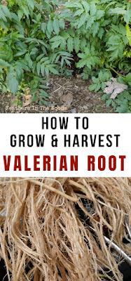 Grow, harvest valerian. Directions