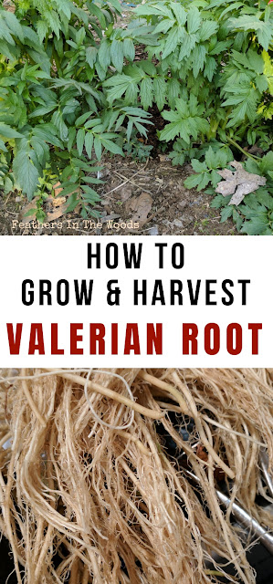 Grow, harvest valerian. Directions