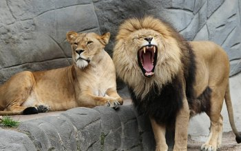 Wallpaper: Zoo. Animals. Leo. Lioness. Lion