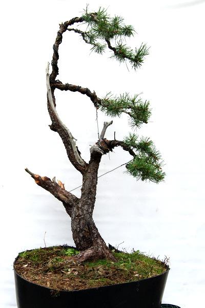 jupp s bonsai blog bei dem wetter. Black Bedroom Furniture Sets. Home Design Ideas