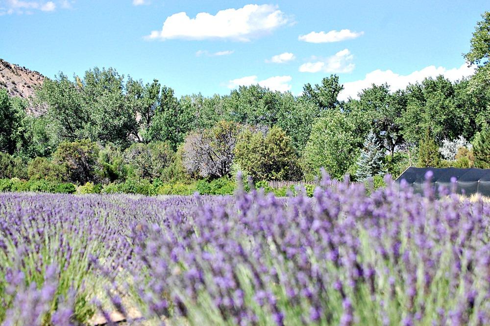 Varieties of lavender, blooming lavender