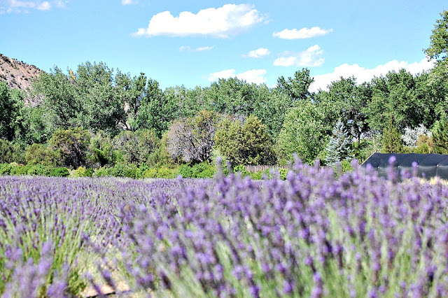 Varieties of lavender, blooming lavender