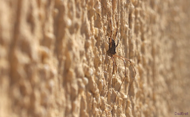 Araignée Opilion