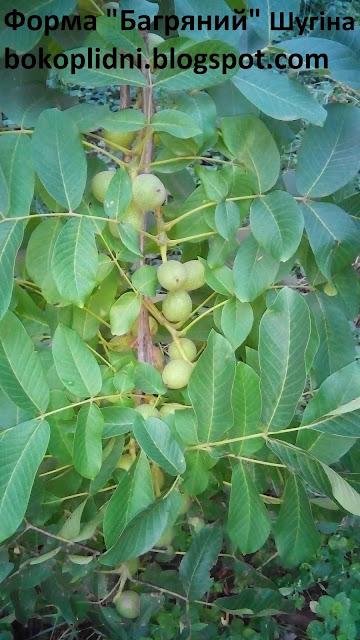 выращивание скороплодных орехов