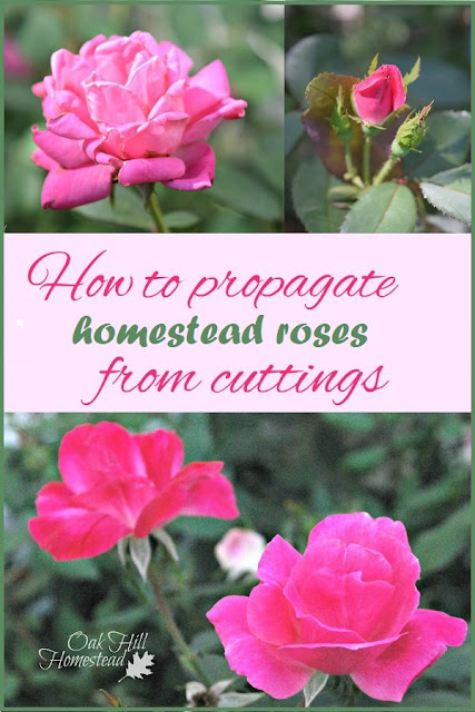 Whether you want more rose hips, petals or the blooms themselves, you can propagate roses from cuttings.