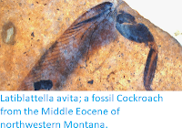 http://sciencythoughts.blogspot.co.uk/2015/04/latiblattella-avita-fossil-cockroach.html