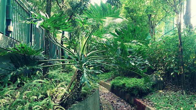 Budidaya Tanaman Philodendron