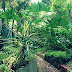 Budidaya Tanaman Philodendron Dan Manfaat Untuk Kesehatan
