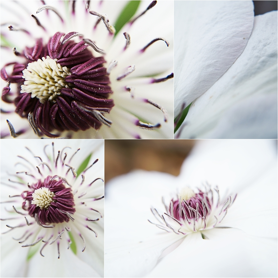 Blog + Fotografie by it's me! - Waldrebe Clematis - Collage