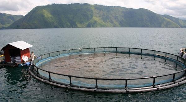 Inilah Jawaban PT. Aquafarm Terkait Kasus Lintah Dan Kutu Mencemari Danau Toba
