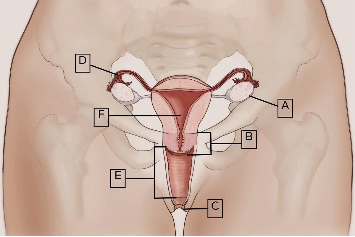 Penis In A Vagina Diagram