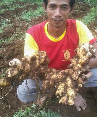 Jenis Jahe di Indonesia
