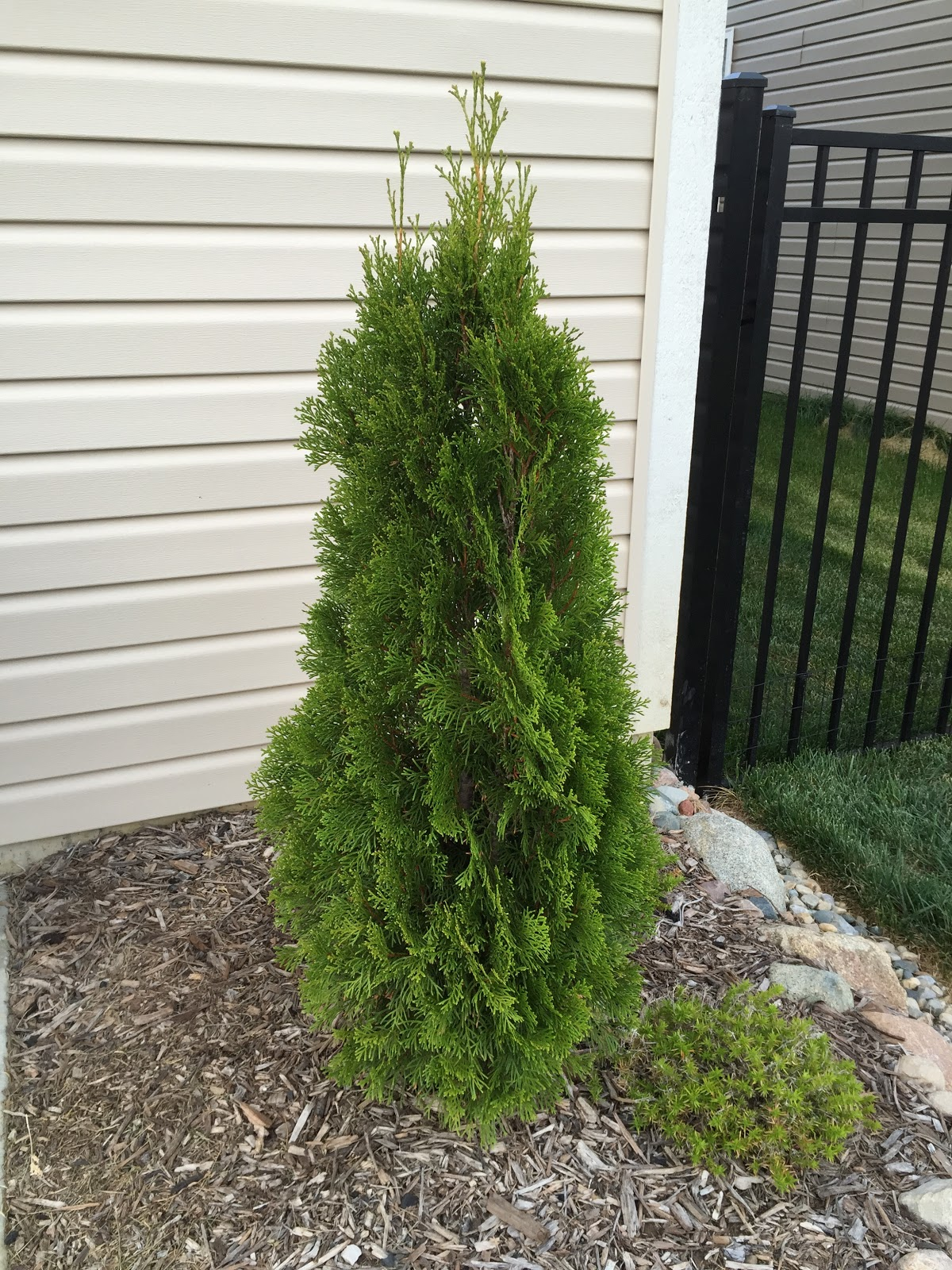 Emerald Green Arborvitae One Year Growth Before And After