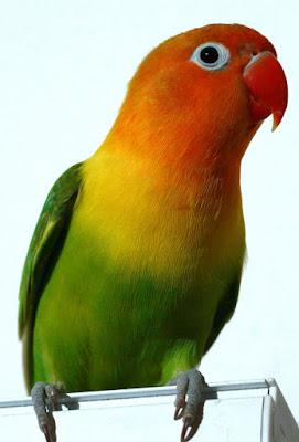 perawatan lovebird juara