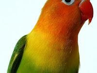Rahasia Perawatan Lovebird Juara