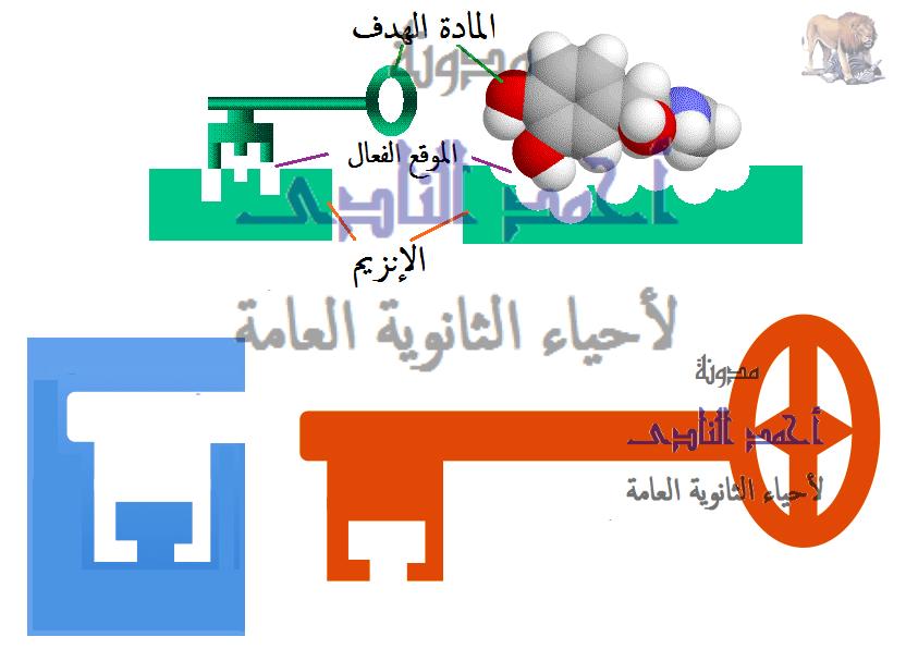 الإنزيمات – آلية عمل الإنزيم - القفل والمفتاح -  أحياء الثانوية العامة – مدونة  أحمد النادى